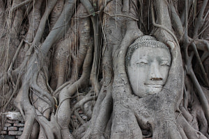 ayutthaya, buddha, roots